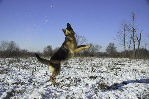 Canine Hip Dysplasia og leddgikt
