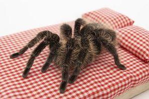Hvordan å holde en vill Tarantula